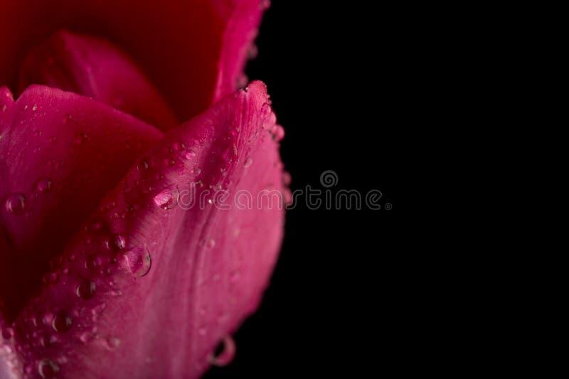 Macromening van een mooie tulpenbloem op zwarte De achtergrond van de lente royalty-vrije stock fotografie