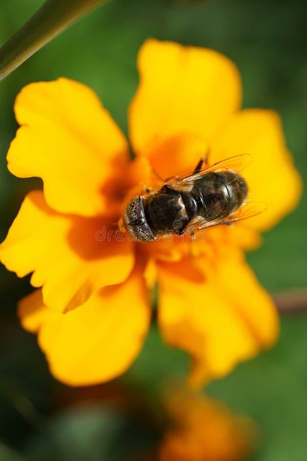 Macromening van hierboven van bloemen Kaukasische vliegenhoverfly Erist stock foto's