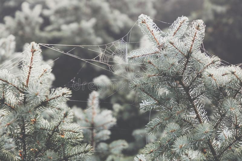 Macromening van naalden van pijnboomtakken met een bouwvallige backgro royalty-vrije stock fotografie