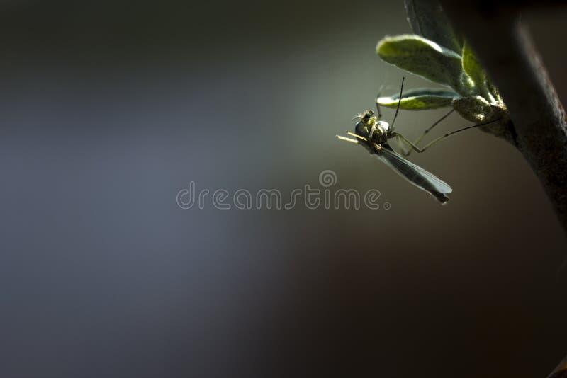 MacroMosquito stock image