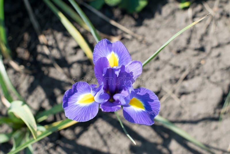 Macroopname van mooie blauwe irisbloem stock foto