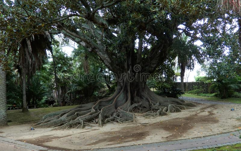 Macrophilla de los ficus en el jardín botánico de Ponta Delgada, Azores fotos de archivo libres de regalías