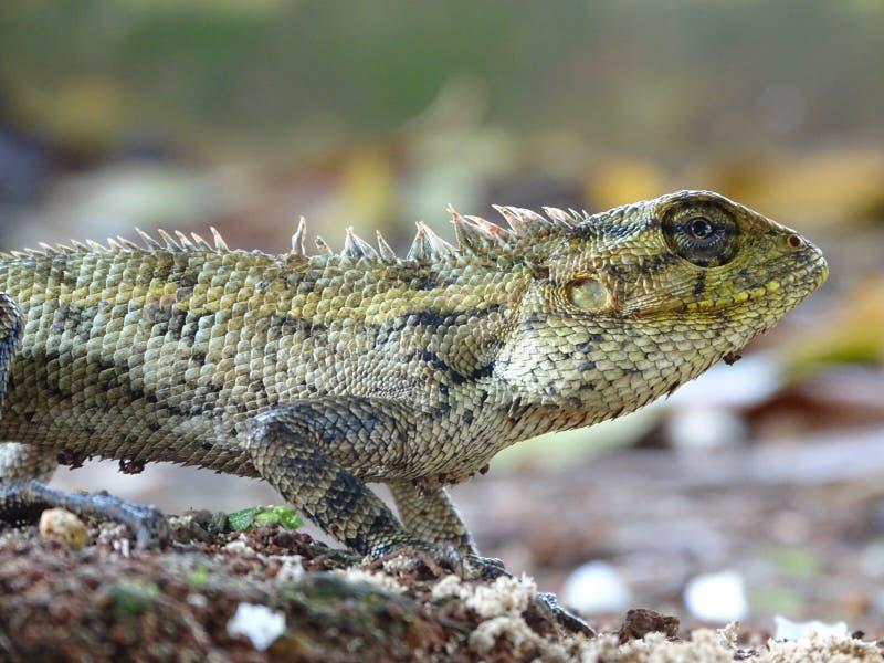 Macrophoto hermoso del lagarto oriental del jardín imagen de archivo libre de regalías