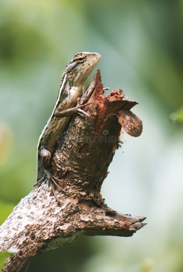 Macrophoto hermoso del lagarto oriental del jard?n imagen de archivo libre de regalías