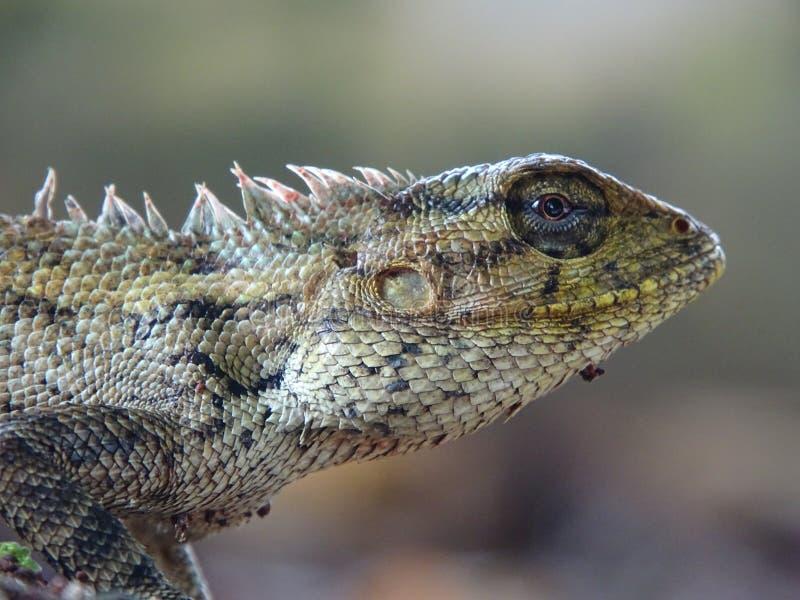Macrophoto hermoso del lagarto oriental del jard?n foto de archivo
