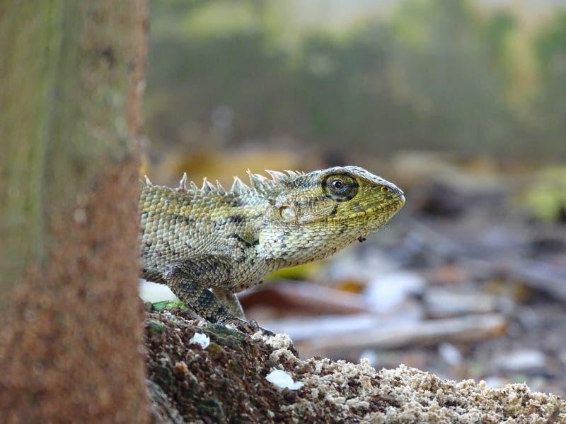 Macrophoto hermoso del lagarto oriental del jard?n fotografía de archivo libre de regalías