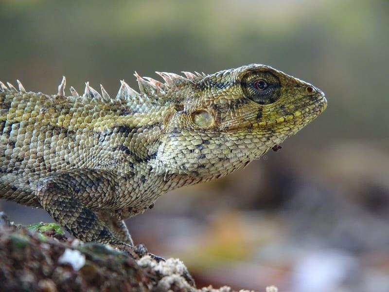 Macrophoto hermoso del lagarto oriental del jard?n foto de archivo libre de regalías