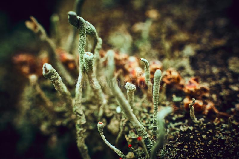 Macrophoto of the lichen in the forest stock photos