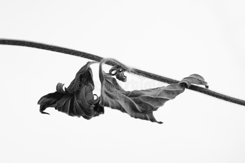 Macrophoto preto e branco do objeto da planta com profundidade de campo imagens de stock