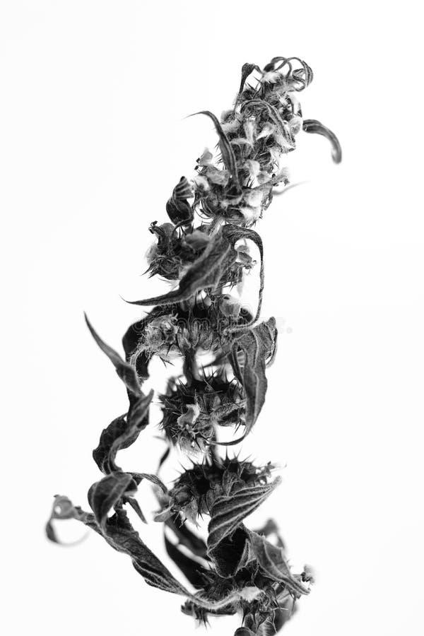 Macrophoto preto e branco do objeto da planta com profundidade de campo fotografia de stock royalty free