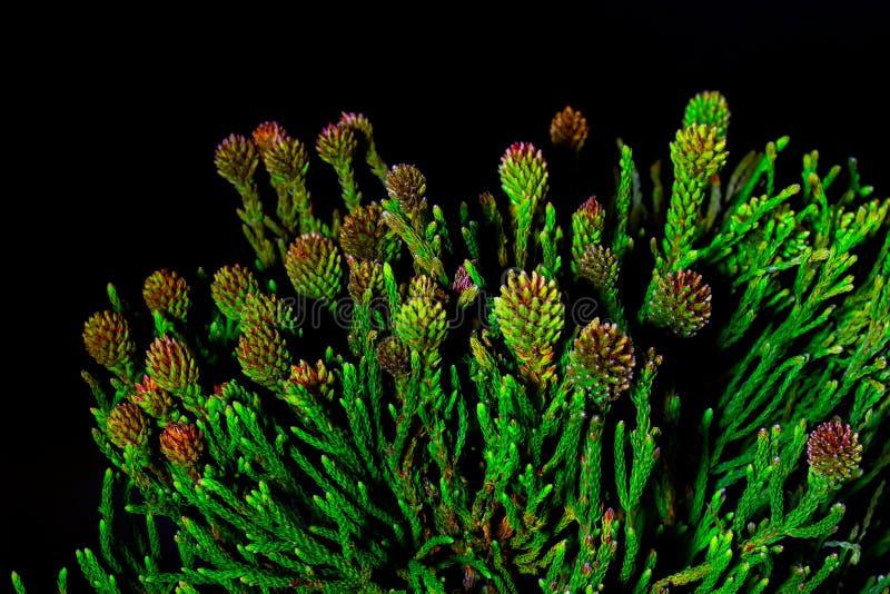 Macrophoto su un fondo scuro, rami naturali di Brunia di verde del primo piano dei cappucci immagini stock libere da diritti