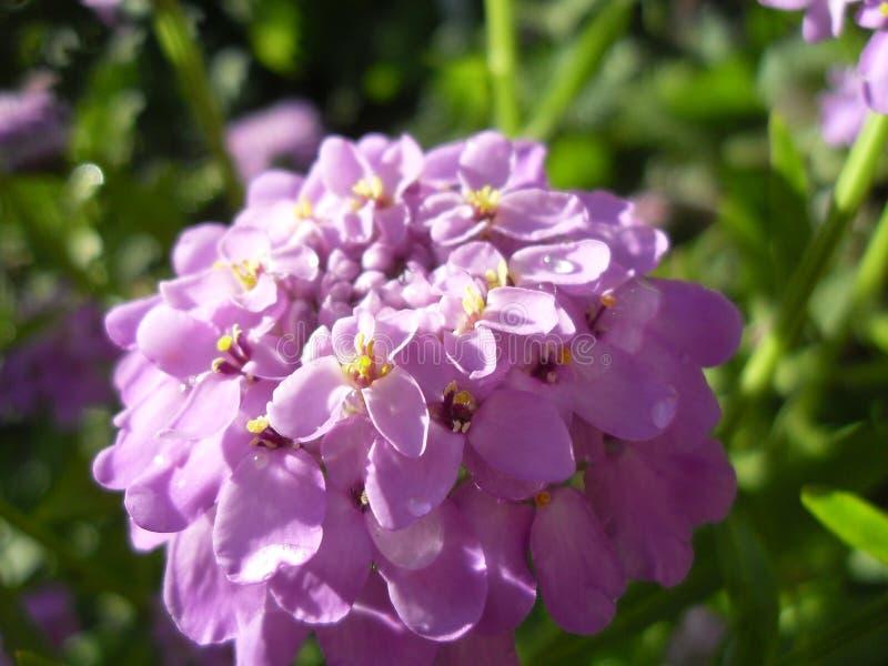 Macrophoto van roze wildflowers royalty-vrije stock fotografie