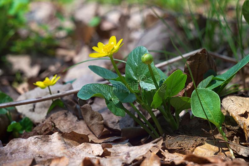 Macrophotography beauty wild spring nature. Small yellow flower in forest on the background of dry leaves royalty free stock image