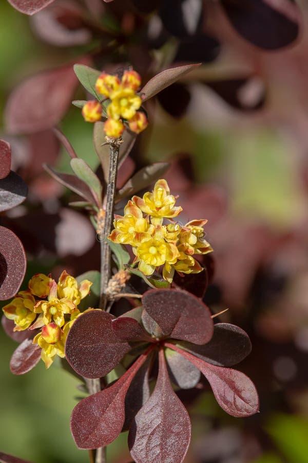 View of a berberis flower. Macrophotography of berberis flowers, berberis species royalty free stock photos