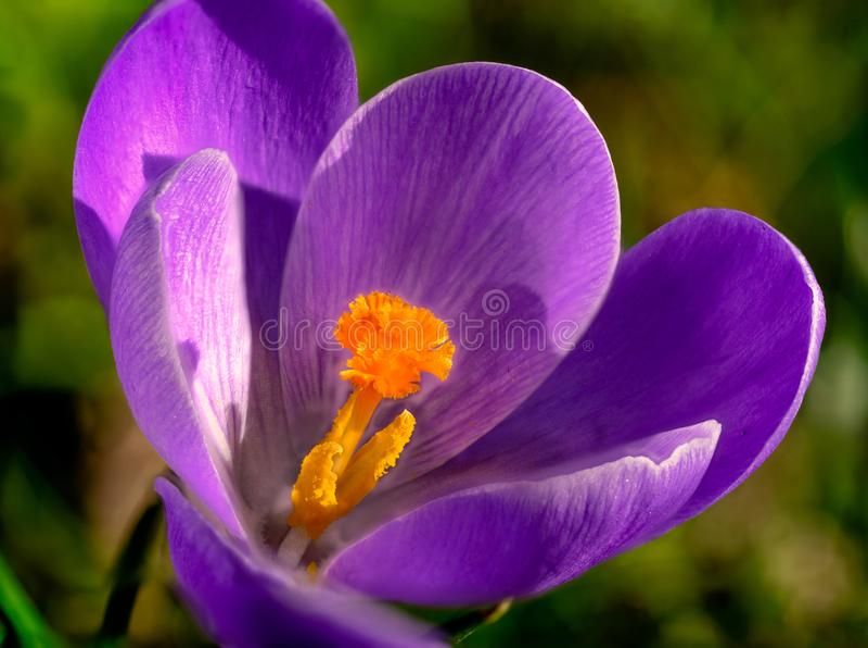 Macrophotography de crocus violet orange de pistil en premier ressort photographie stock libre de droits
