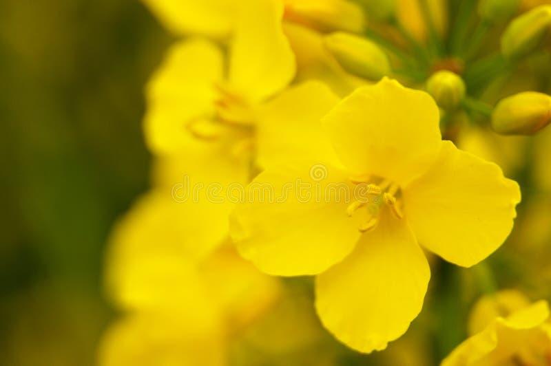 Macrophotography de la flor de la rabina con los estambres amarillos fotos de archivo libres de regalías