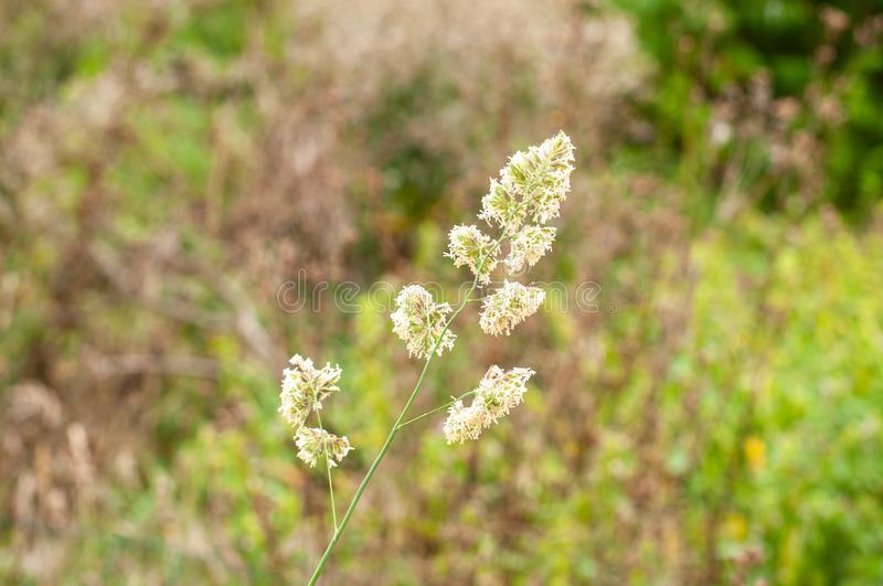Dactylis glomerata or orchard grass flowering in summer. Macrophotography of flowering dactylis glomerata, cocks-foot or orchard grass in uncultivated meadow royalty free stock image