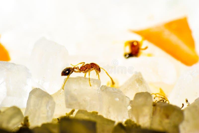 Macrophotography macro do açúcar da formiga redant imagens de stock royalty free