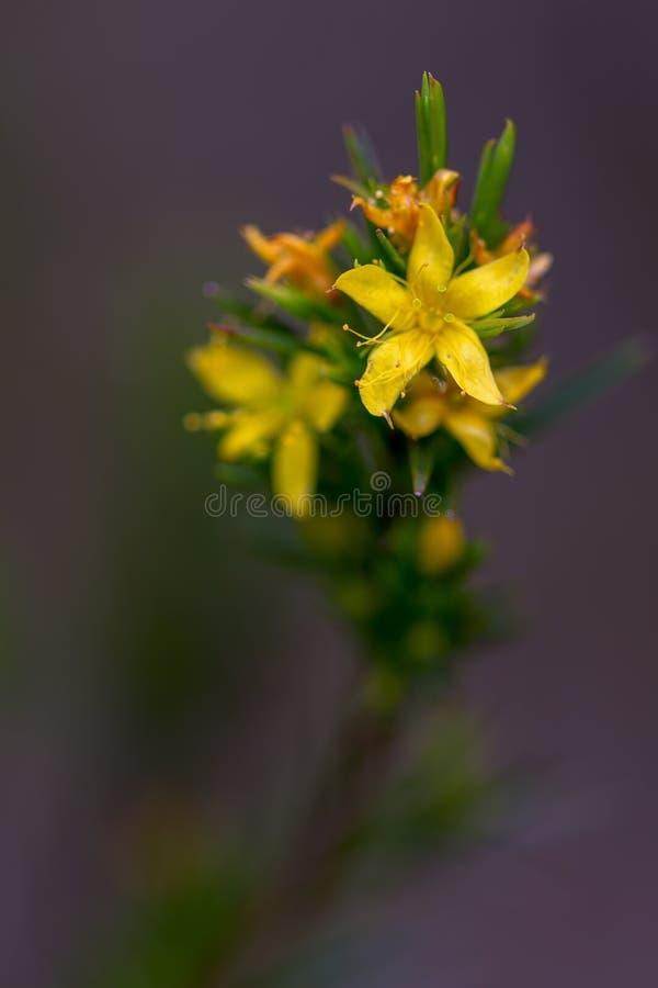 Macrophotography van een uiterst kleine gele wildflower stock afbeeldingen