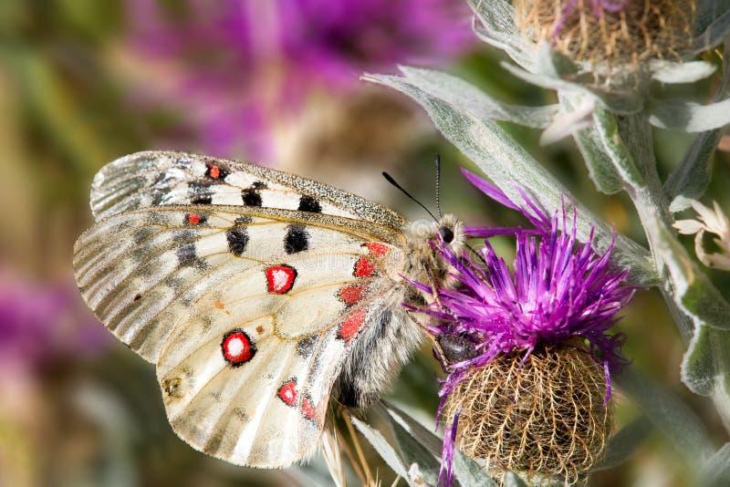 Macrophotography van een vlinder - Parnassius Apollo stock foto's