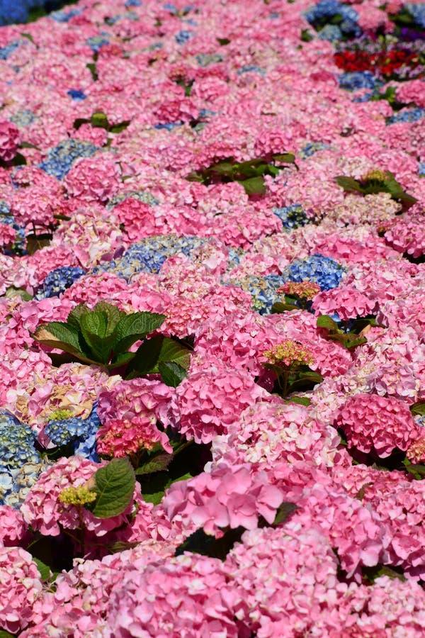 Macrophylla ή ortensia Hydrangea Έκθεση Euroflora 2018 Parchi Di Nervi Γένοβα Ιταλία στοκ εικόνες με δικαίωμα ελεύθερης χρήσης