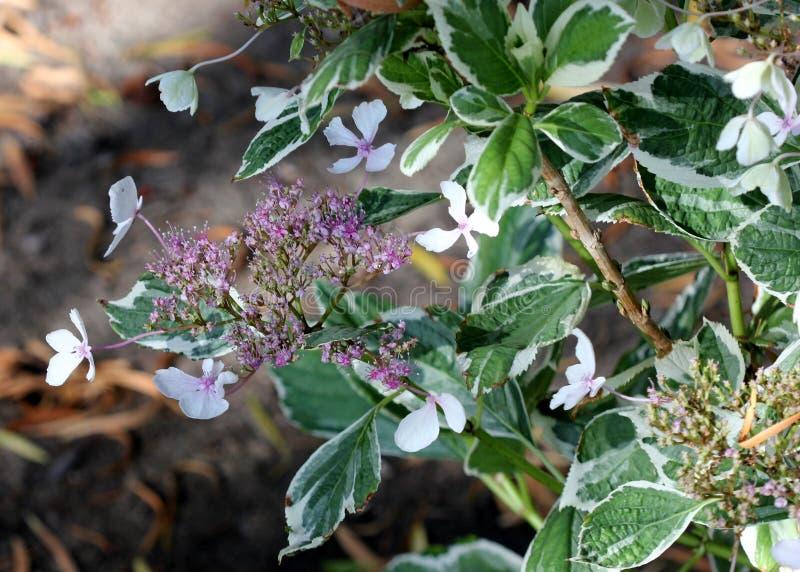 Macrophylla 'Maculata 'de la hortensia, fotografía de archivo