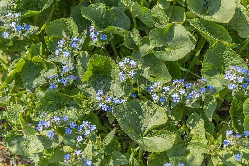 Macrophylla de Brunnera, ?bl pequeno e delicado do cora??o do mar ?- bugloss siberian, grande mios?tis, brunnera do largeleaf, he fotografia de stock