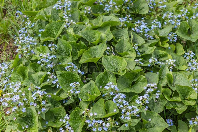 Macrophylla de Brunnera, ?bl peque?o y delicado del coraz?n del mar ?- bugloss siberiano, gran nomeolvides, brunnera del largelea foto de archivo libre de regalías