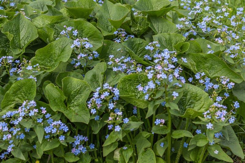 Macrophylla de Brunnera, ?bl peque?o y delicado del coraz?n del mar ?- bugloss siberiano, gran nomeolvides, brunnera del largelea imagenes de archivo