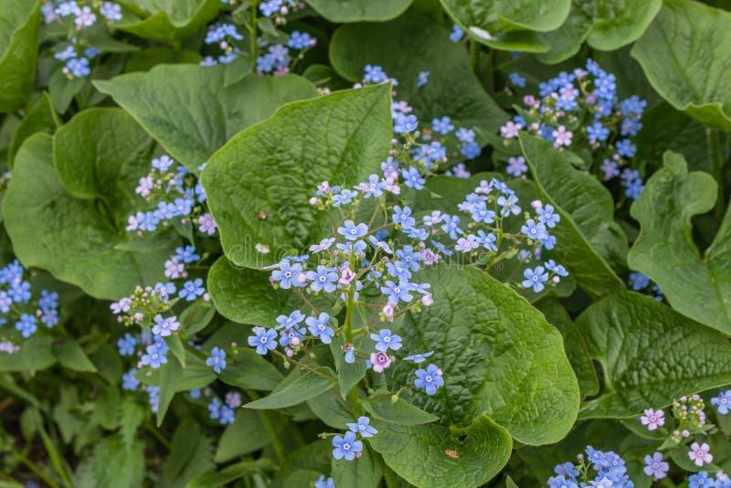 Macrophylla de Brunnera, ?bl peque?o y delicado del coraz?n del mar ?- bugloss siberiano, gran nomeolvides, brunnera del largelea imagen de archivo