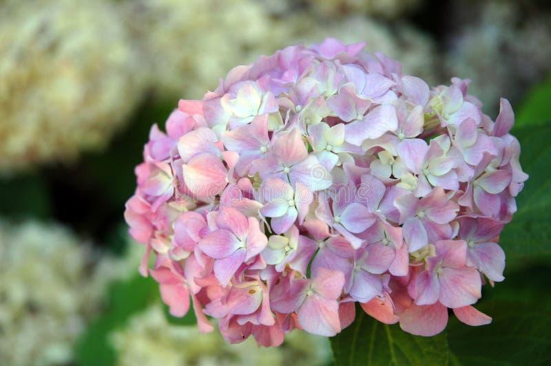 Macrophylla de Hydrangea photographie stock