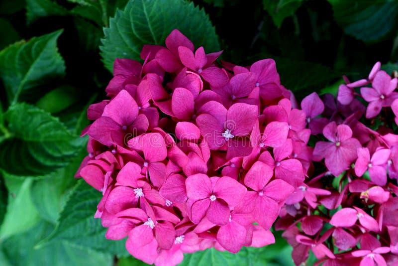 Macrophylla de la hortensia, hortensia grande de la hoja fotos de archivo libres de regalías