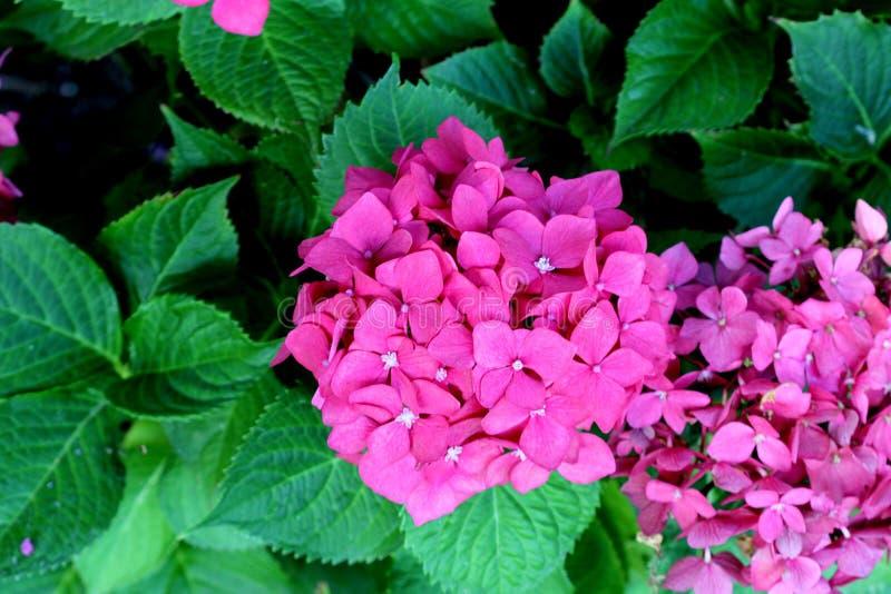 Macrophylla de la hortensia, hortensia grande de la hoja imágenes de archivo libres de regalías