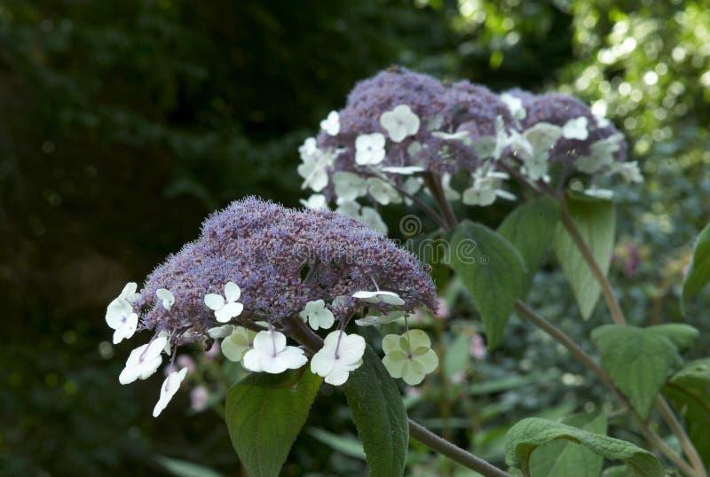Macrophylla del aspera de la hortensia imágenes de archivo libres de regalías