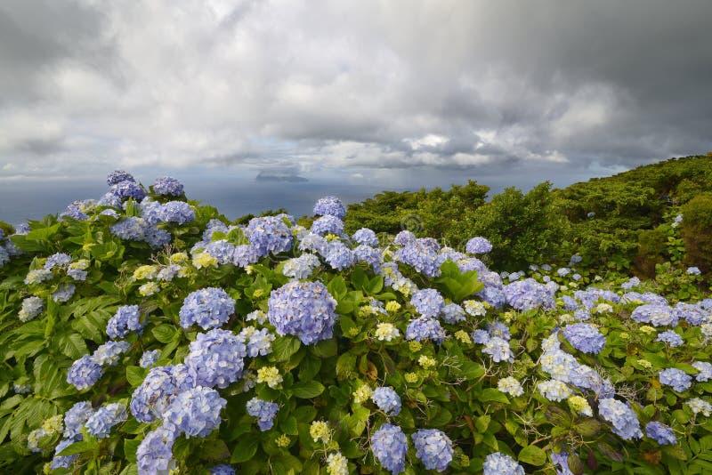 Macrophylla dell'ortensia, isola del Flores, Azzorre, Portogallo immagine stock