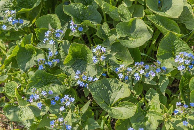 """Macrophylla di Brunnera, """"bl delicato del cuore del mare """"- bugloss siberiano, grande nontiscordardime, brunnera del largeleaf, h fotografia stock"""
