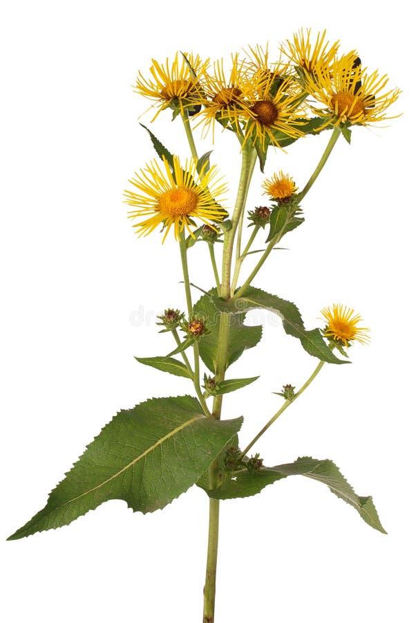 Macrophylla jaune d'hortensia (chemin de coupure) photos stock