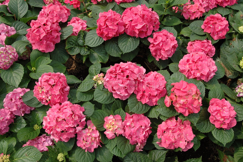 Macrophylla rose de hydrangea photo libre de droits