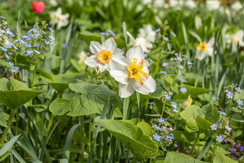 Macrophylla y narcisos en la cama de flor en la primavera, nomeolvides grande de Brunnera, hoja de Brunner, heartleaf-pequeñas gr imágenes de archivo libres de regalías
