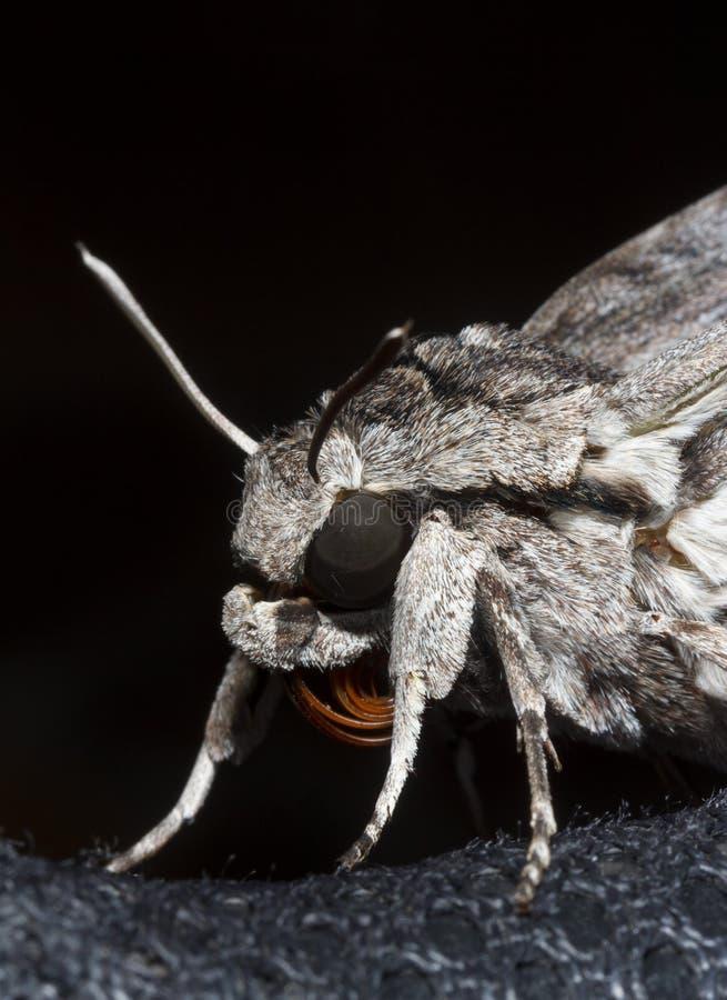 Macroportret van een grijze de haviksmot van de nachtvlinder op een zwarte stock afbeeldingen