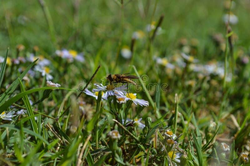 Macroprofielfoto van een gele zuigende nectar van de jasjewesp van een kleine wildflower royalty-vrije stock foto