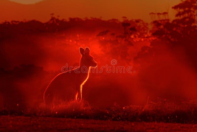 Macropus giganteus - Eastern Grey Kangaroo, standing close to the fire in Australia. Burning forest in Australia royalty free stock photos