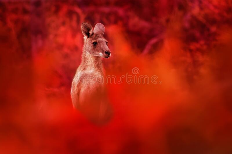 Macropus giganteus - Eastern Grey Kangaroo, standing close to the fire in Australia. Burning forest in Australia. Red background stock image