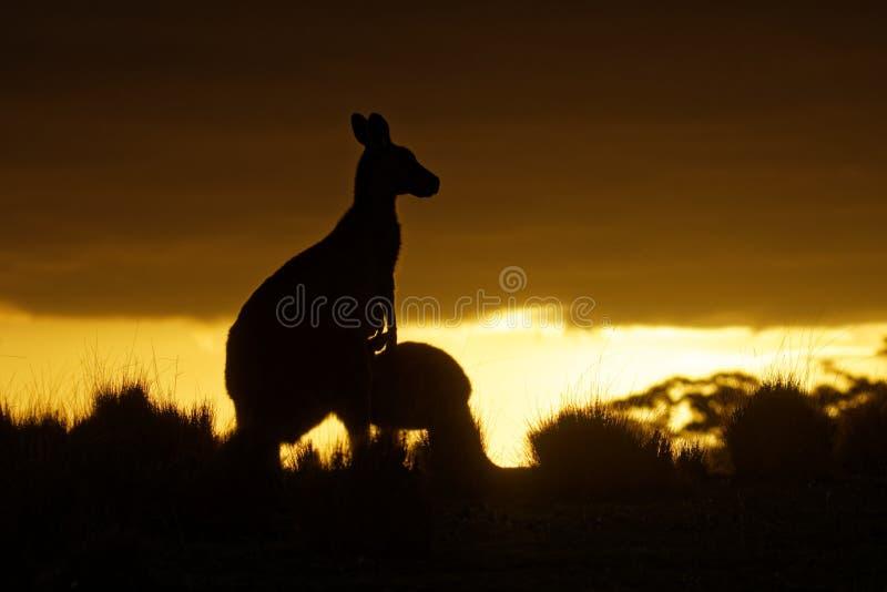 Macropus giganteus - Eastern Grey Kangaroo in Tasmania in Australia, Maria Island, Tasmania, standing with the youngster on the me royalty free stock images