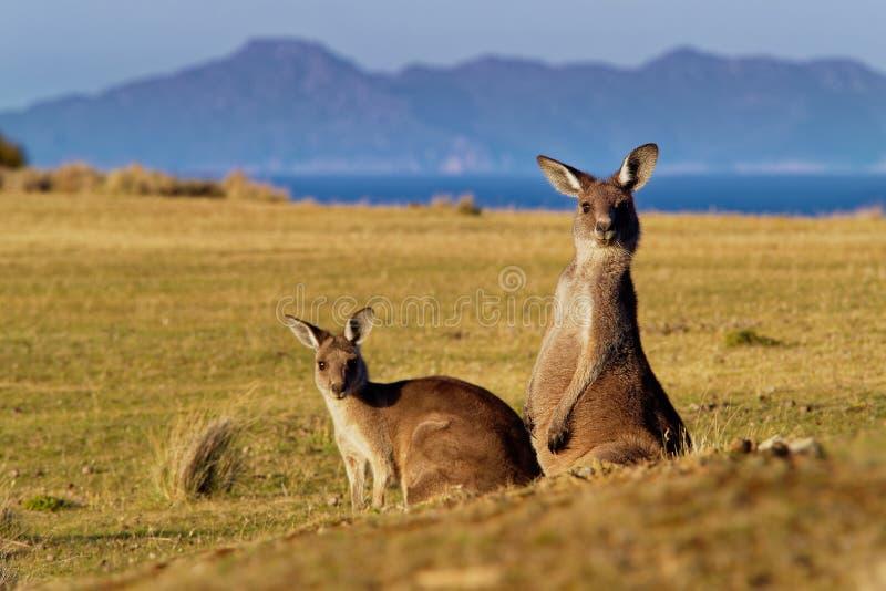 Macropus giganteus - Ost-Grey Kangaroo stockfotografie
