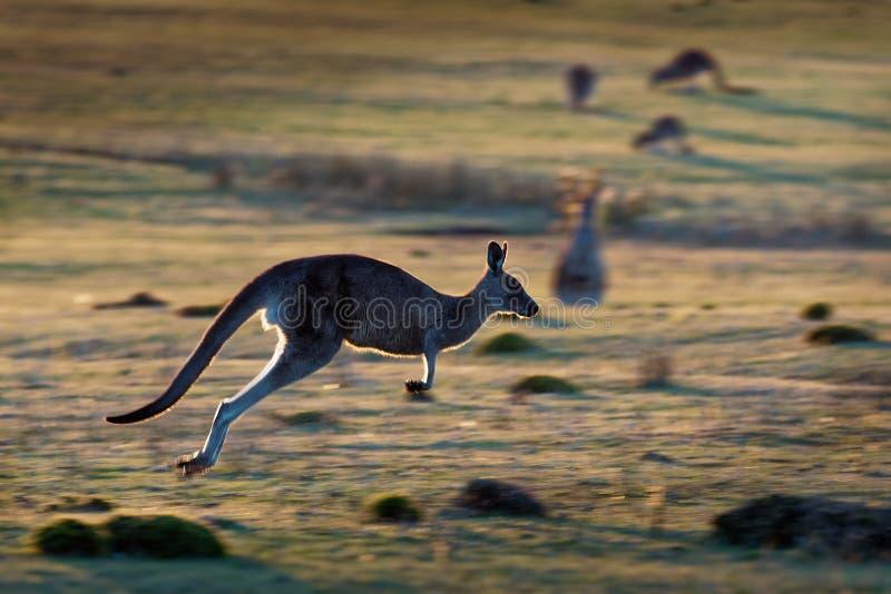 Macropus giganteus - Ost-Grey Kangaroo stockfotos