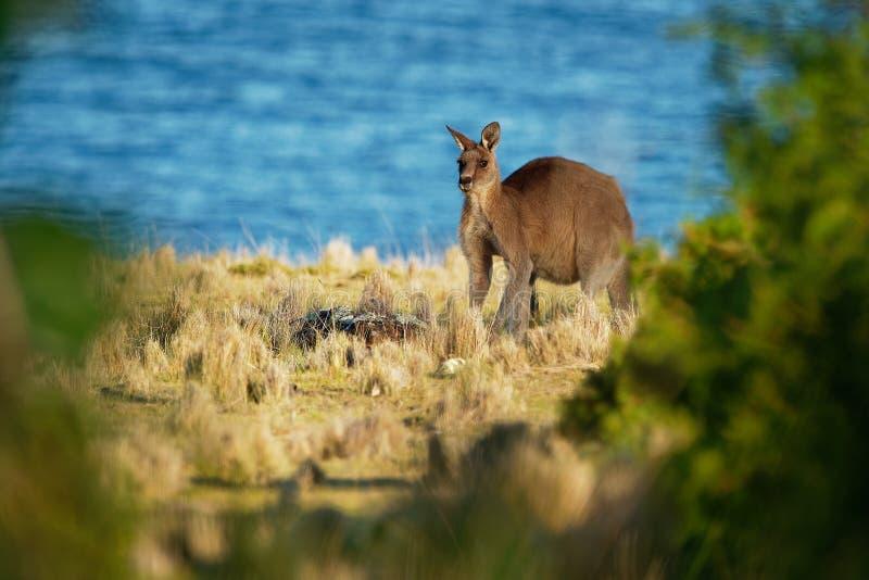 Macropus giganteus - Ost-Grey Kangaroo in Tasmanien in Australien stockfoto