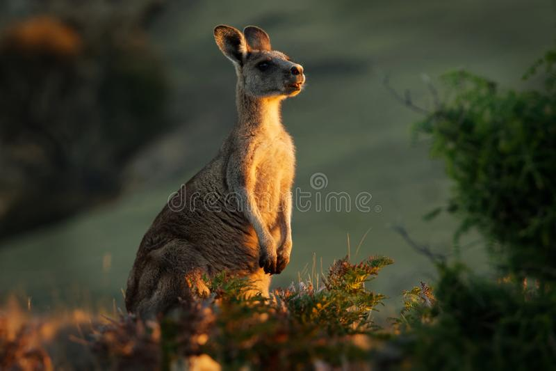 Macropus giganteus - Ost-Grey Kangaroo in Tasmanien in Australien, Maria Island, Tasmanien, stehend auf der Wiese am Abend stockfotografie