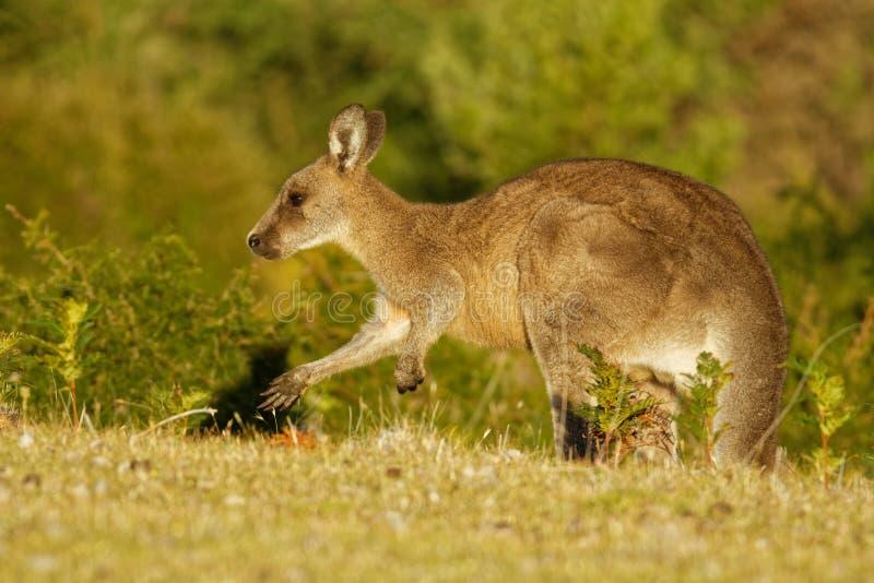 Macropus giganteus - Ost-Grey Kangaroo in Tasmanien in Australien, Maria Island, Tasmanien, stehend auf der Wiese am Abend stockfoto