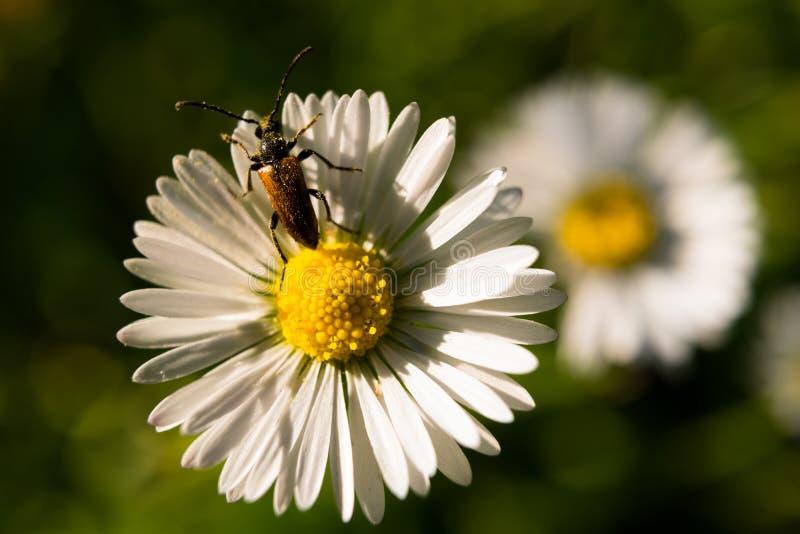 Macroschot van gedetailleerd ongedierteinsect op perennis van de bloembellis van het de zomermadeliefje royalty-vrije stock afbeelding